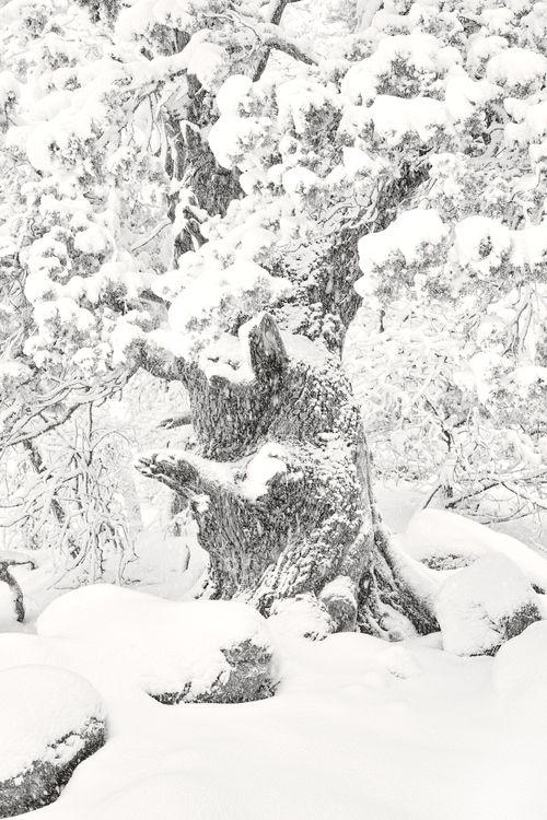 Juniper and Snow v5